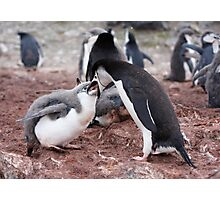 """Chinstrap Penguin and Chick ~ """"Al fresco dining"""" Photographic Print"""