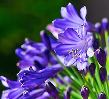 Midnight Agapanthus by Renee Hubbard Fine Art Photography