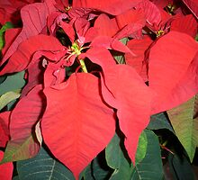 Mexican Flame Leaf - Poinsettia pulcherrima by Sissypius
