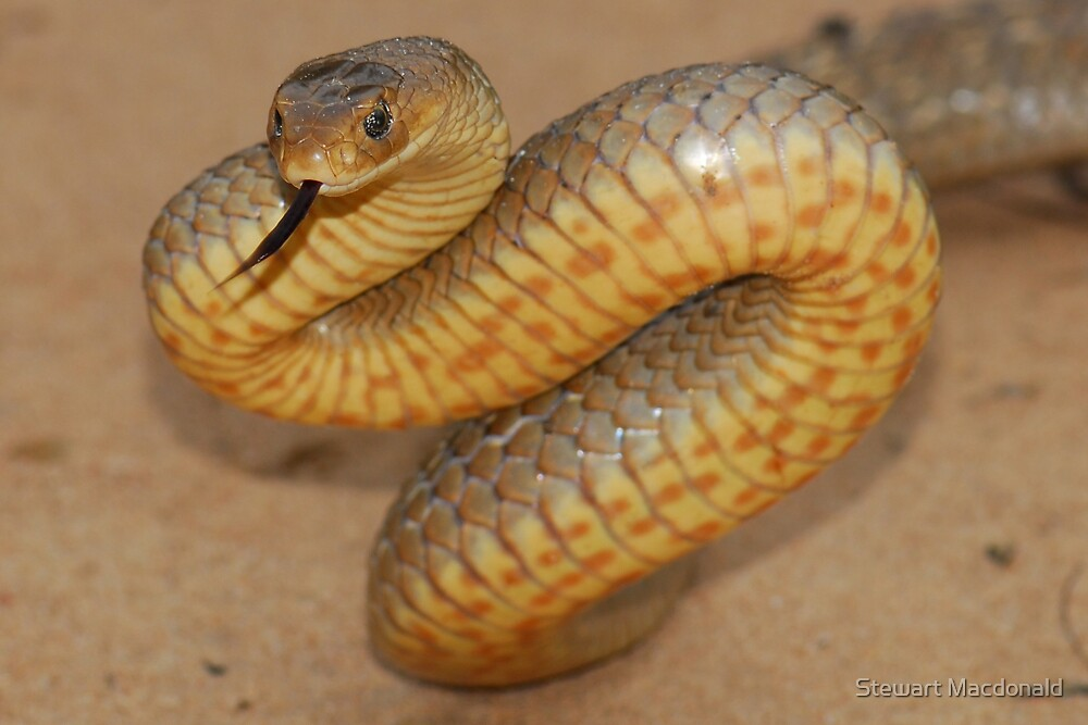 Eastern brown snake by Stewart Macdonald
