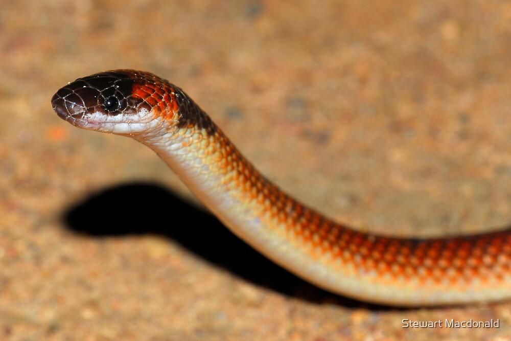 Orange-naped snake by Stewart Macdonald