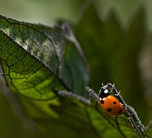 Ladybug on sunflower leaf by Celeste Mookherjee
