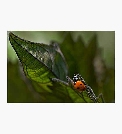 Ladybug on sunflower leaf Photographic Print