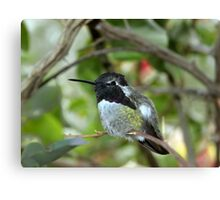 Little Hummer Canvas Print