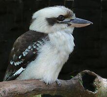 Kookaburra by margo