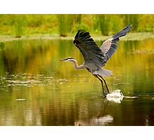 Heron Liftoff Photographic Print