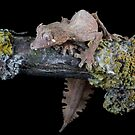 Satanic leaf tailed gecko by Angi Wallace
