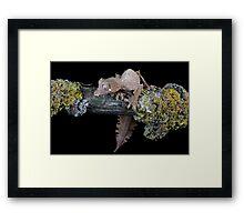 Satanic leaf tailed gecko Framed Print