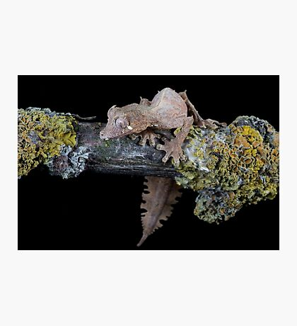 Satanic leaf tailed gecko Photographic Print