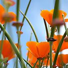 California Poppies by Jodi Turner