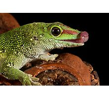 Madagascan Day gecko Photographic Print