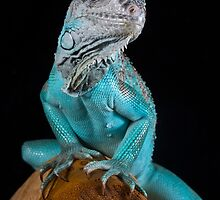 Blue Iguana by Angi Wallace