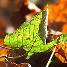 Autumn Leaf by Tim Norris