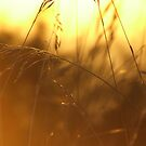 Golden Grass by Tim Norris