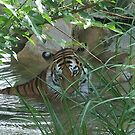 tiger in st louis by Chris  Batson