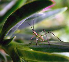 Long Horned Grasshopper 2 by Robin Fortin IPA