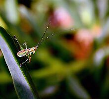 Long horned grasshopper by Robin Fortin IPA