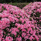 Pink Azaleas by Marilyn Harris