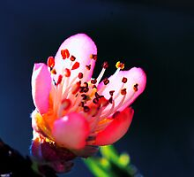 Peach Blossom by Chris Marshburn