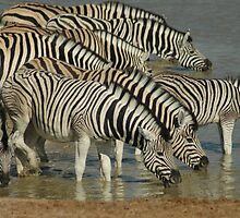 Namibian Zebras by Kay  Hook