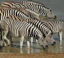 Namibian Zebras by Kay  Hook