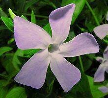 Vinca Major by Mark Wilson