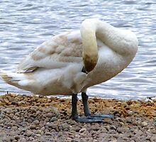 grooming swan by jamesp