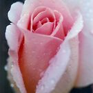 Rose with Dew by fourthwall