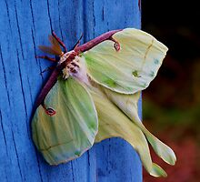 ~ Lovely Luna Moth ~ by WesternDreamer