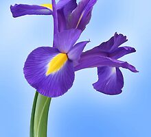 Iris by John Edwards
