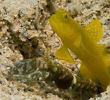 Banded Shrimpgoby with alpheid shrimp by Erik Schlogl