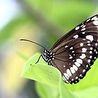 Black Dotted Butterfly by Ismail Basymeleh