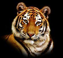 Tiger by Jacky