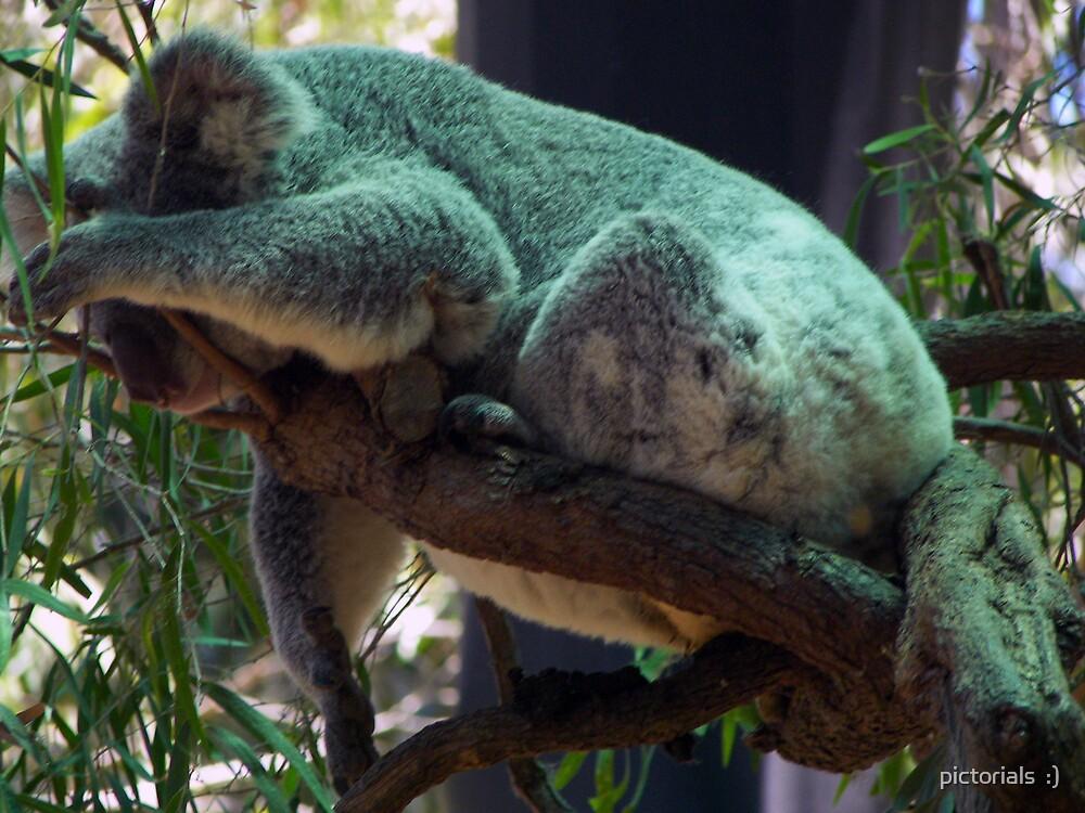 koala blue by pictorials  :)