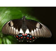Portait of an Orchard Swallowtail butterfly Photographic Print