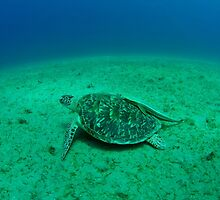 sea turtle by bashta
