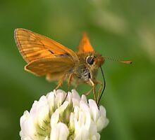 Skipper Butterfly on White Clover by Neil Bygrave (NATURELENS)