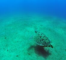 green sea turtle (Chelonia mydas)  by bashta