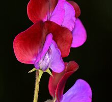 Sweet Pea by Neil Bygrave (NATURELENS)