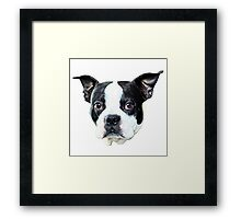 Boston Terrier  Framed Print