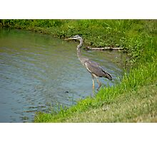 Heron Photographic Print