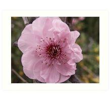Fruit Blossum Art Print