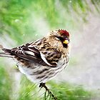 Christmas Redpoll by Christina Rollo