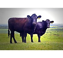 Cley Cows B Photographic Print