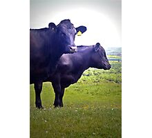 Cley Cows Too B Photographic Print