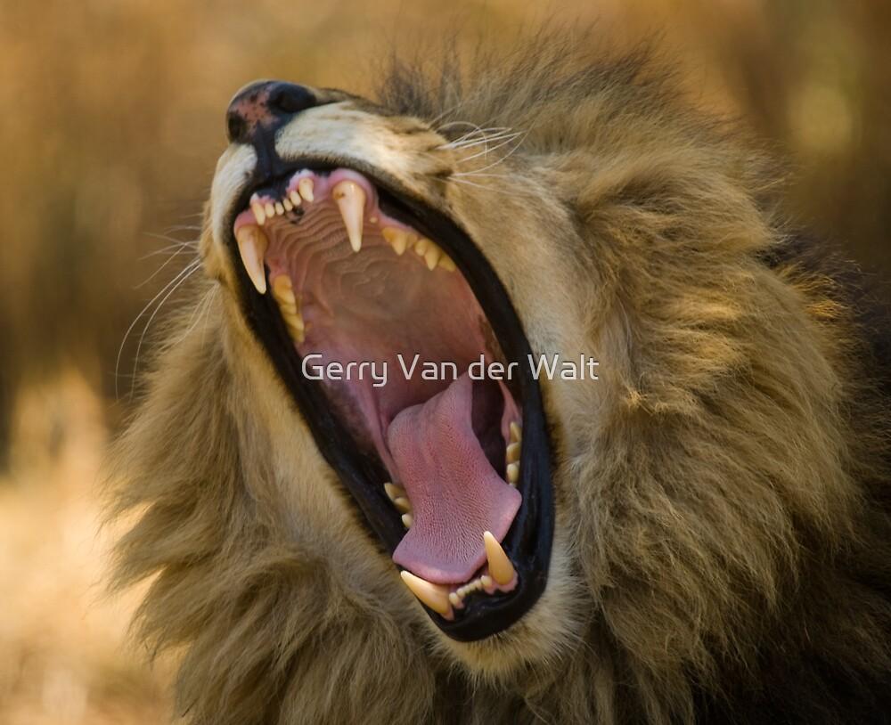 Lion Yawn by Gerry Van der Walt
