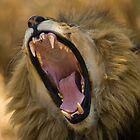 Lion Yawn by Gerry Van der Walt