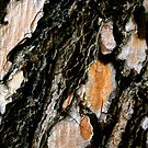 Tree Bark Textures by Robin Fortin IPA