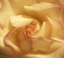 Rose 1 by William Helms