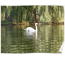 A Beautiful Trumpeter Swan Poster